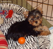 Yorkie puppy ready for adoption